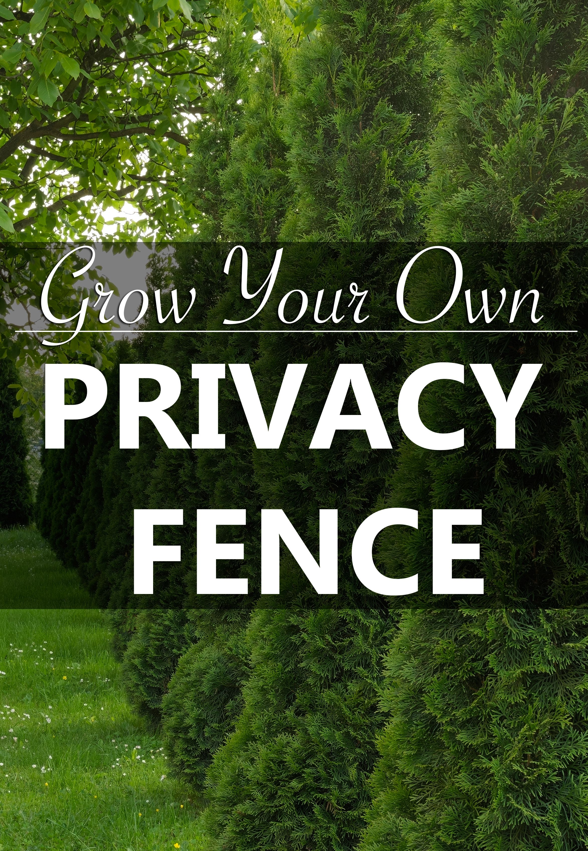 grow your own privacy fence for a backyard retreat evergreen