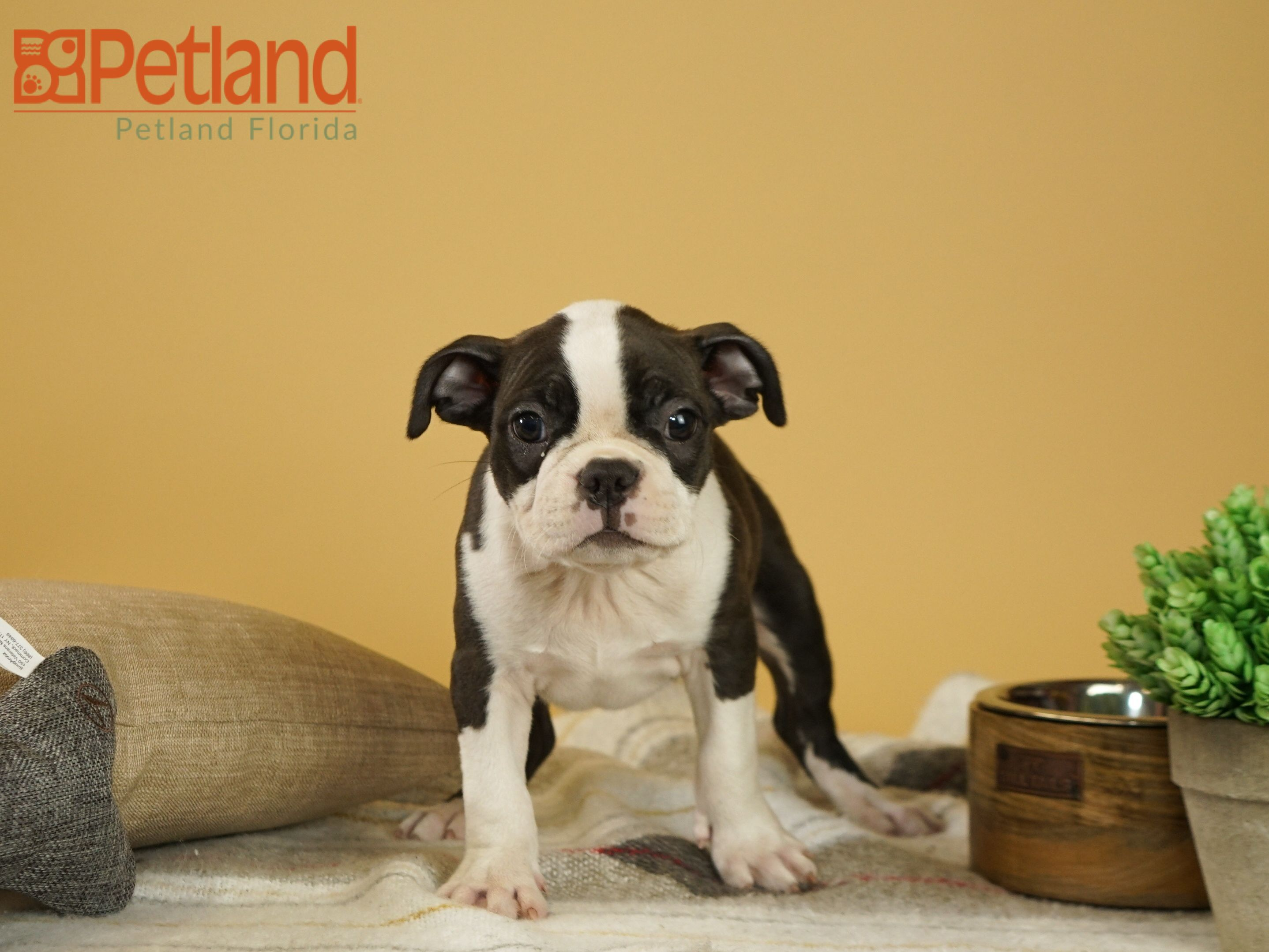 Puppies For Sale Puppy friends, Puppies, Boston terrier