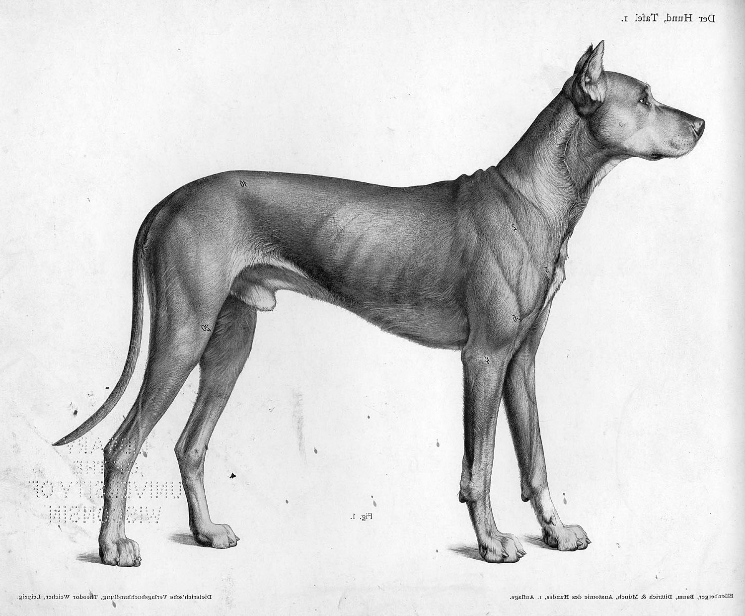 Vintage dog anatomy drawing | Burt tattoo | Pinterest | Dog anatomy ...