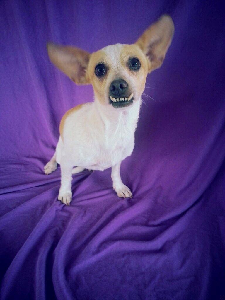 Pin On Chihuahua Mixes
