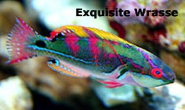 Reef Safe Wrasse Fish Cleaner Wrasse And Other Reef Safe Wrasse Species Reef Safe Fish Saltwater Fish Tanks Fish