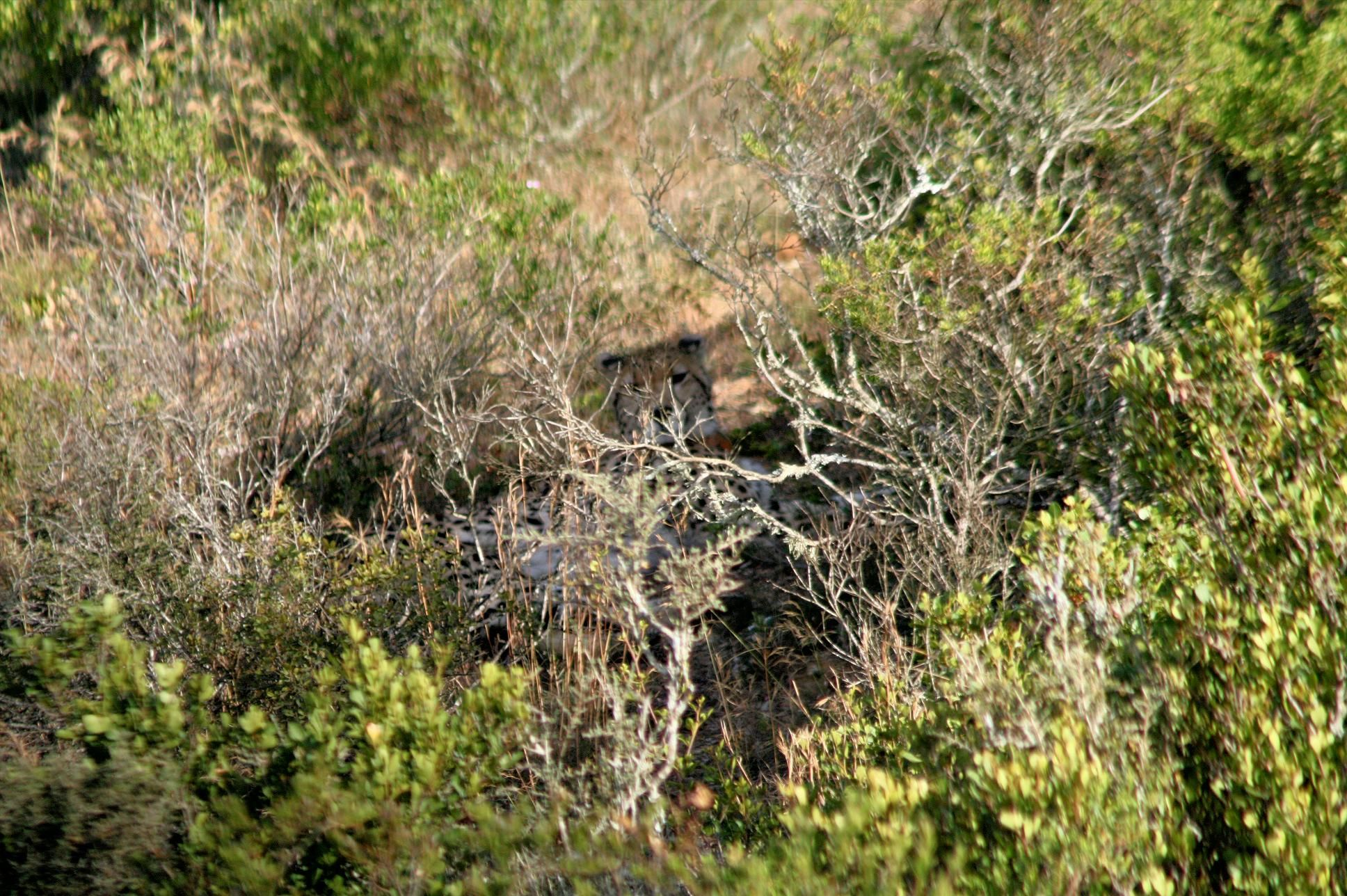 Cheetah, Garden Route Game Lodge, South Africa (With