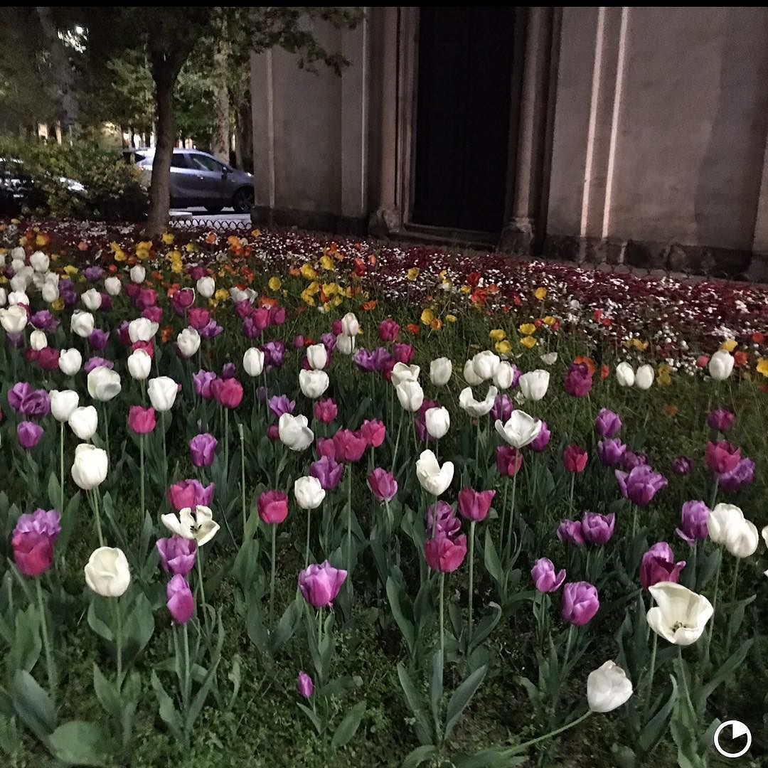 Tulipas minhas favoritas. Essas foram na primavera em Milão! #flores #tulipas #primavera #milao #olioliteam @olioli_lifestyle