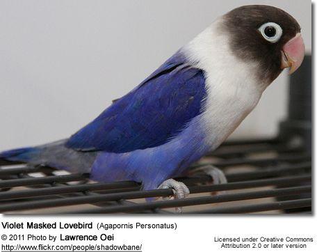 lovebird colors color mutation violet of a black masked