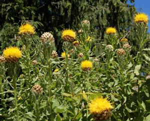 Globe centaurea centaurea macrocephala golden yellow thistle like globe centaurea centaurea macrocephala golden yellow thistle like flowers are 3 inches across hardy mightylinksfo