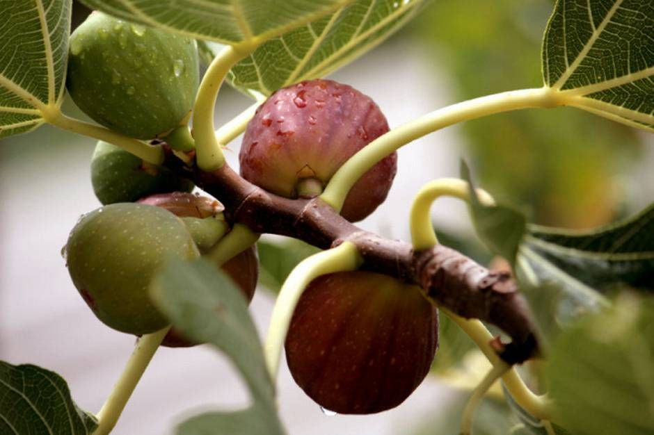 Garrett Dallas Homeowners Who Want Fruits And Nuts Have Plenty Of Easy Choices Indoor Fruit Trees Indoor Fruit Fruit