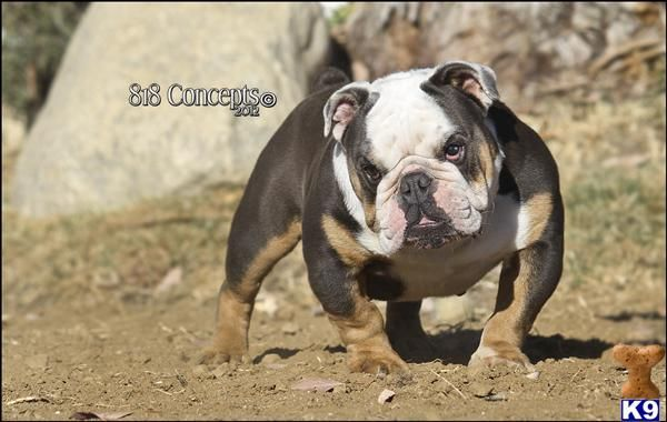 full grown miniature english bulldog Google Search