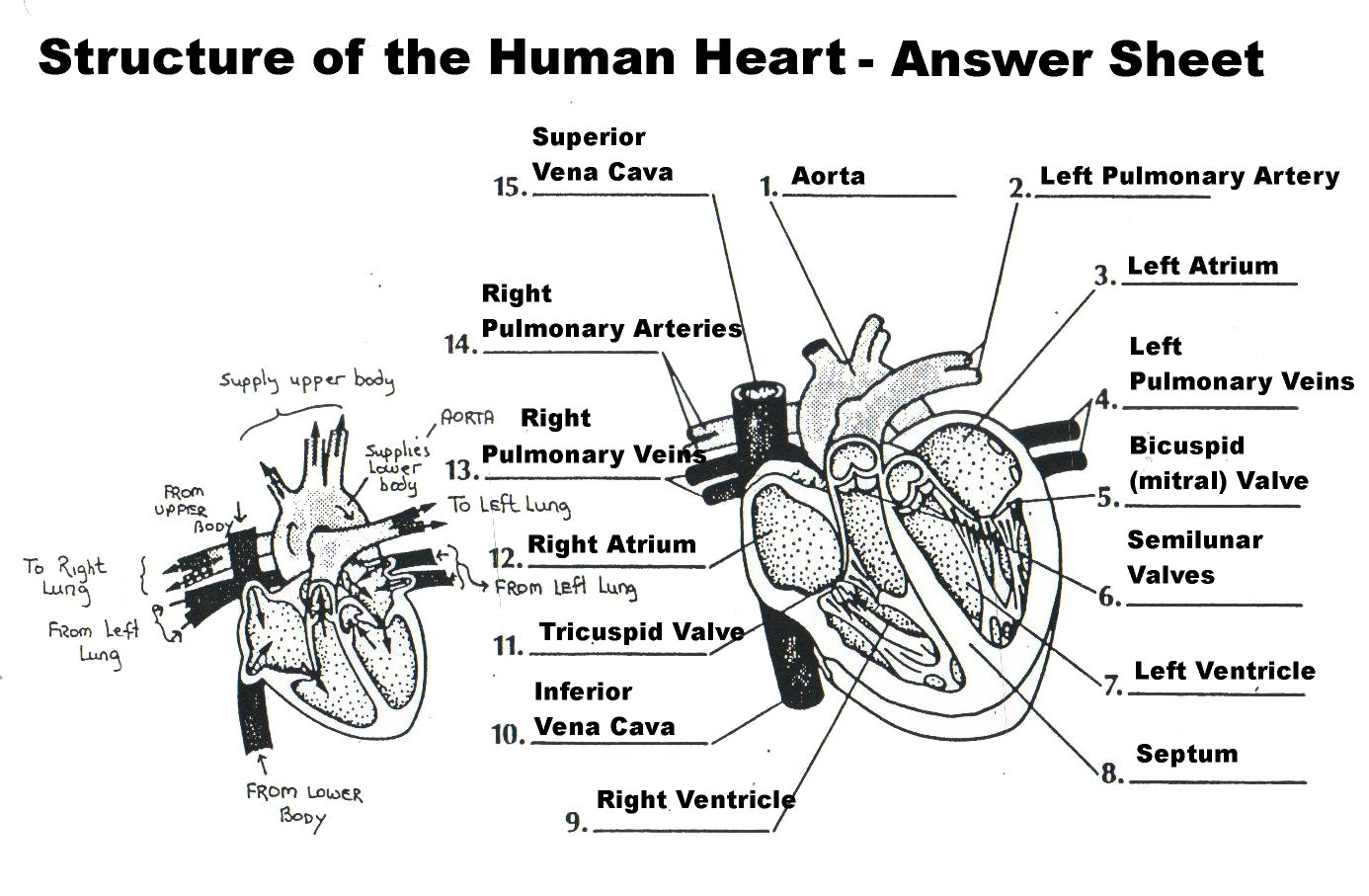 Human Circulatory System Worksheets Answers