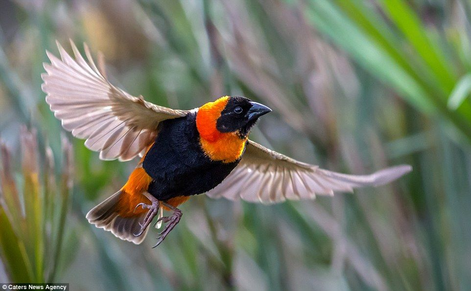 This Southern Red Bishop looks magnificent with its wings spread during a flight through p...