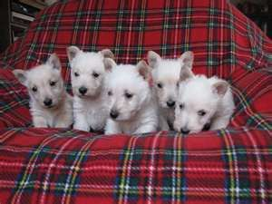 Scottish Terrier Puppies Scottish Terriers Are Black These Are West Highland White Terrier Pups Scottish Terrier Puppy Westie Puppies Scottie Dog