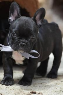 Beautiful French Bulldog Pups Dogs Puppies Gumtree Australia
