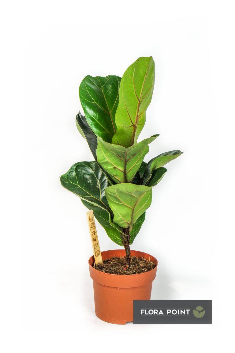 10 Najlepszych Roslin Doniczkowych Do Domu Flora Point Najmodniejsze Rosliny Do Domu I Ogrodu Plant Leaves Flora Garden