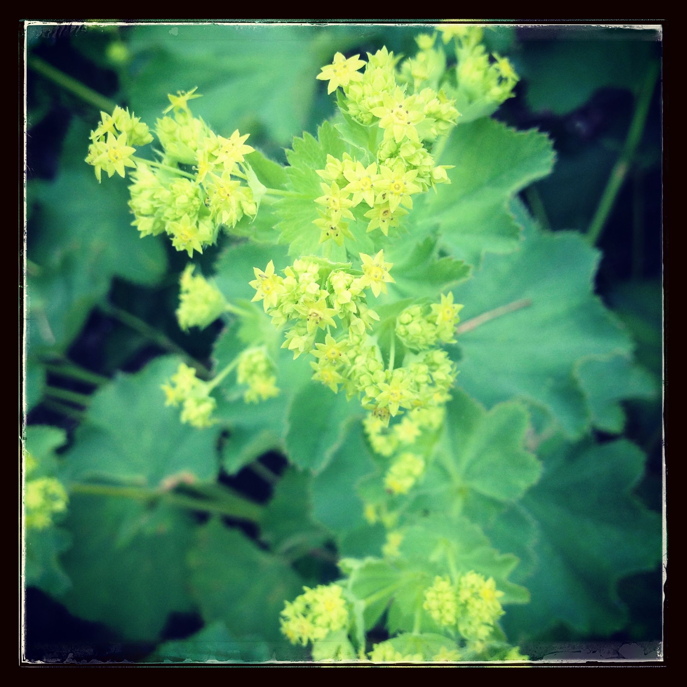 Lady's Mantle in the Herb & Hedgerow herb garden. Read