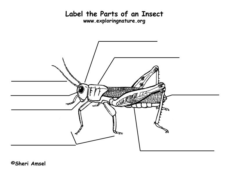 Parts Of An Insect Insects Kindergarten Spider Lessons Apologia Science