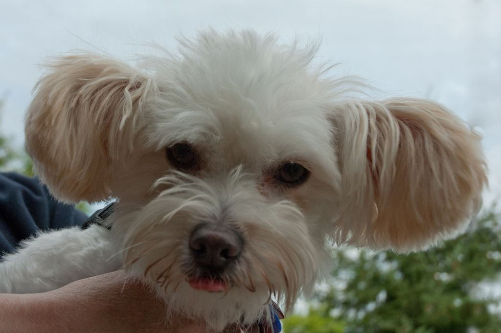 Male dogs of small breeds are more difficult to housetrain when kept intact. If the small male dog is used for breeding: http://dogssmallbreeds.com/