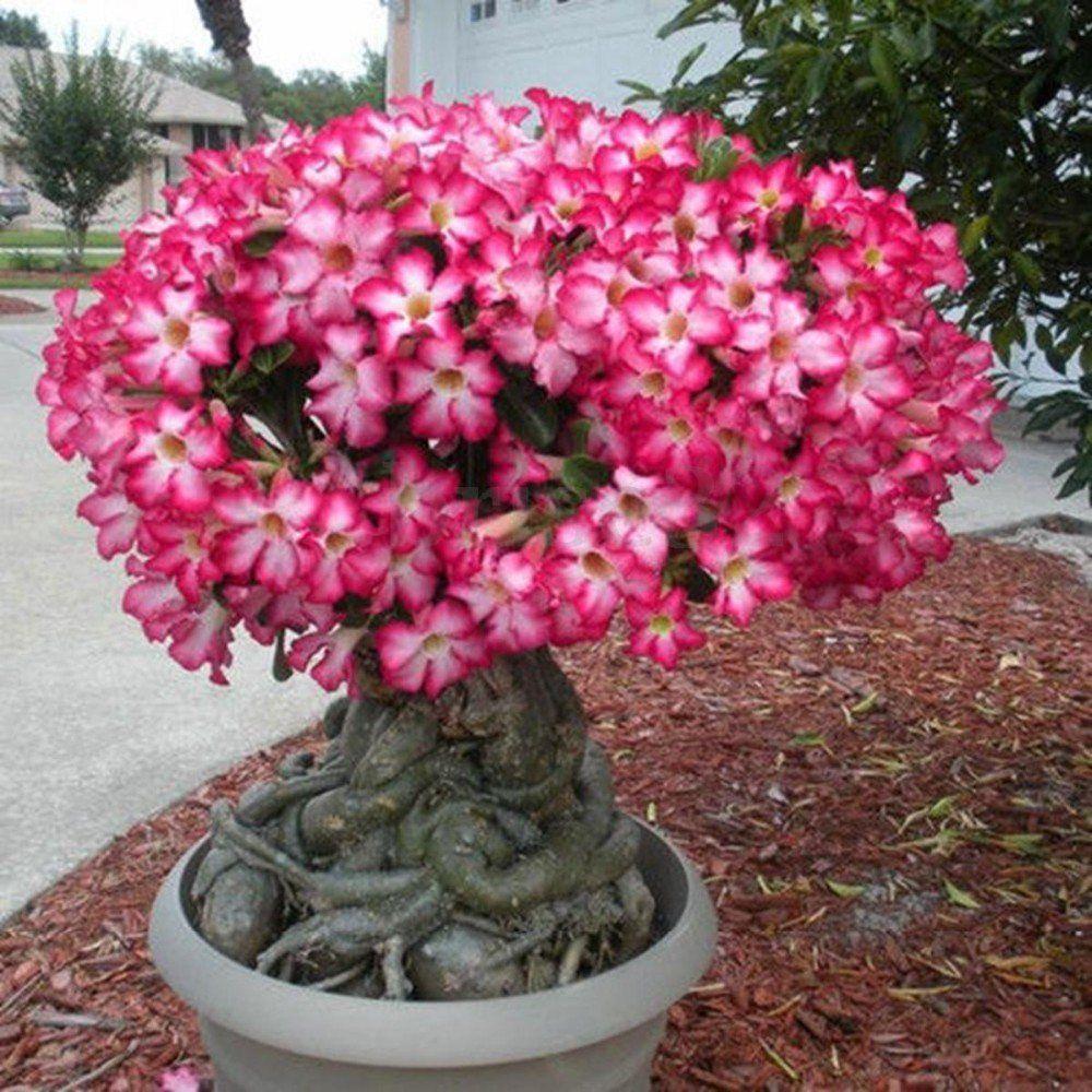 38++ Planta rosa china ideas