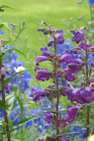In love with Penstemons