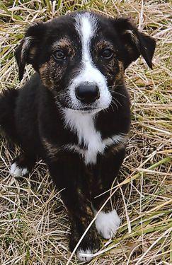 Australian Shepherd Border Collie Puppies 10 Weeks Collie