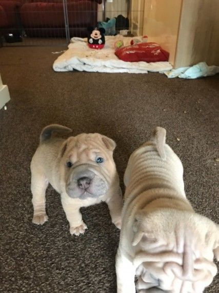 Shar Pei Puppies Pontefract West Yorkshire Pets4homes
