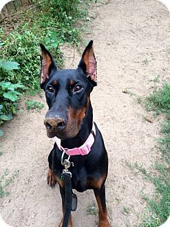 Detroit Mi Doberman Pinscher Mix Meet Brodie A Dog For