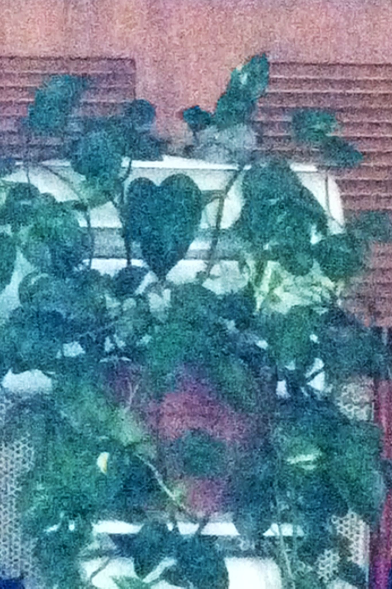 This plant has been grown from a baby. It sits on an antique deli meat scale. Smack dab in the center grows this one heart shape!