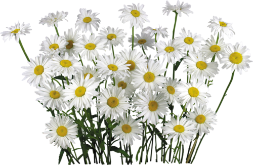 Camomile PNG image, free flower picture