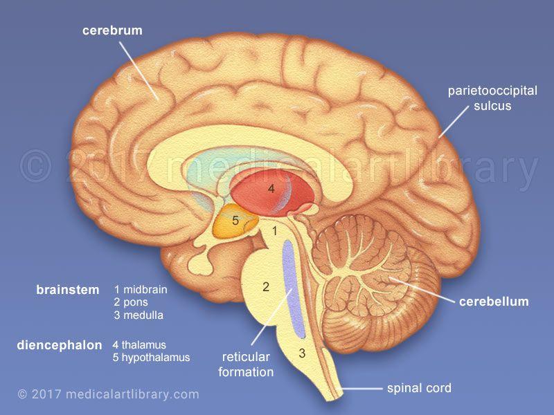 Brain Anatomy Internal Structures Medical Art Library Brain Anatomy Brain Anatomy And Function Brain Structure