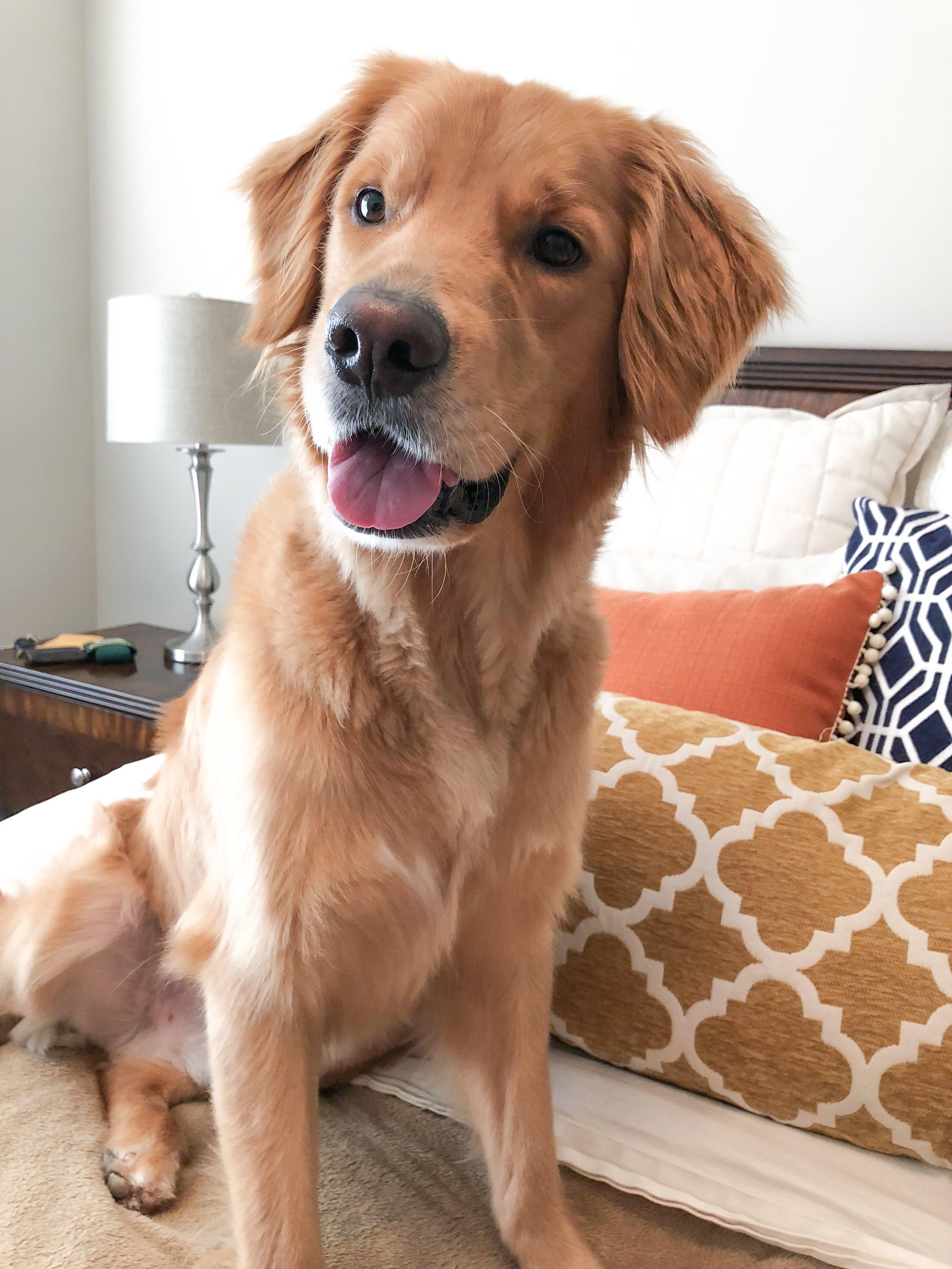 Henry Golden Retriever Happy Puppy