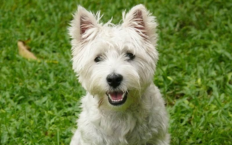 Westie Dog Breed Information Centre For The West Highland White