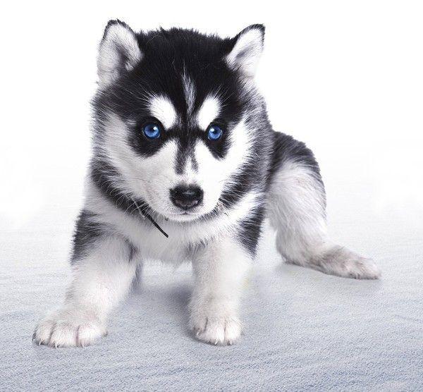 Pomsky Cute Animals Husky Puppy Husky Siberian Husky