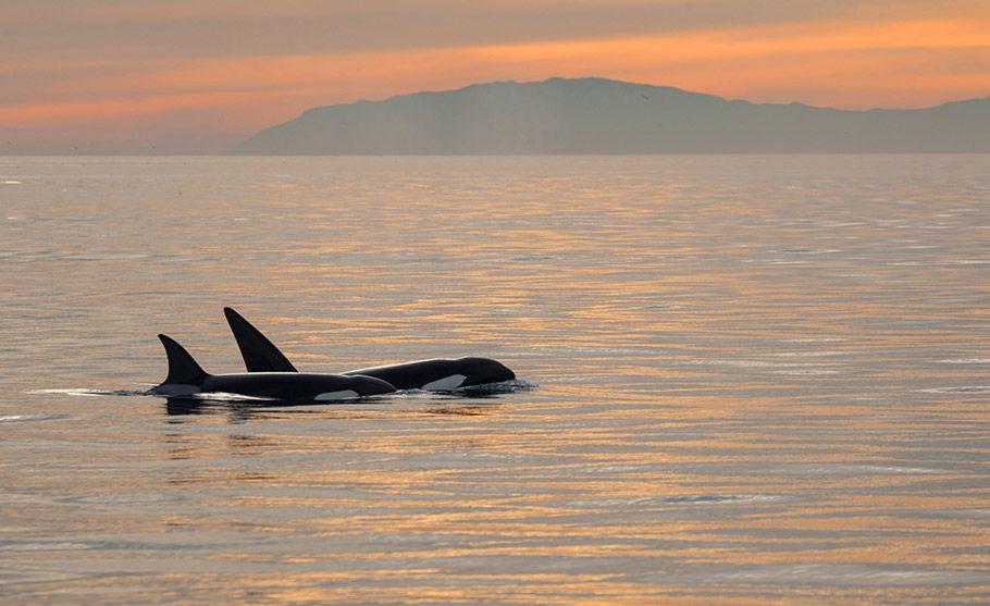 1st-Orcas-at-Sunset_Cliff-Wasserman