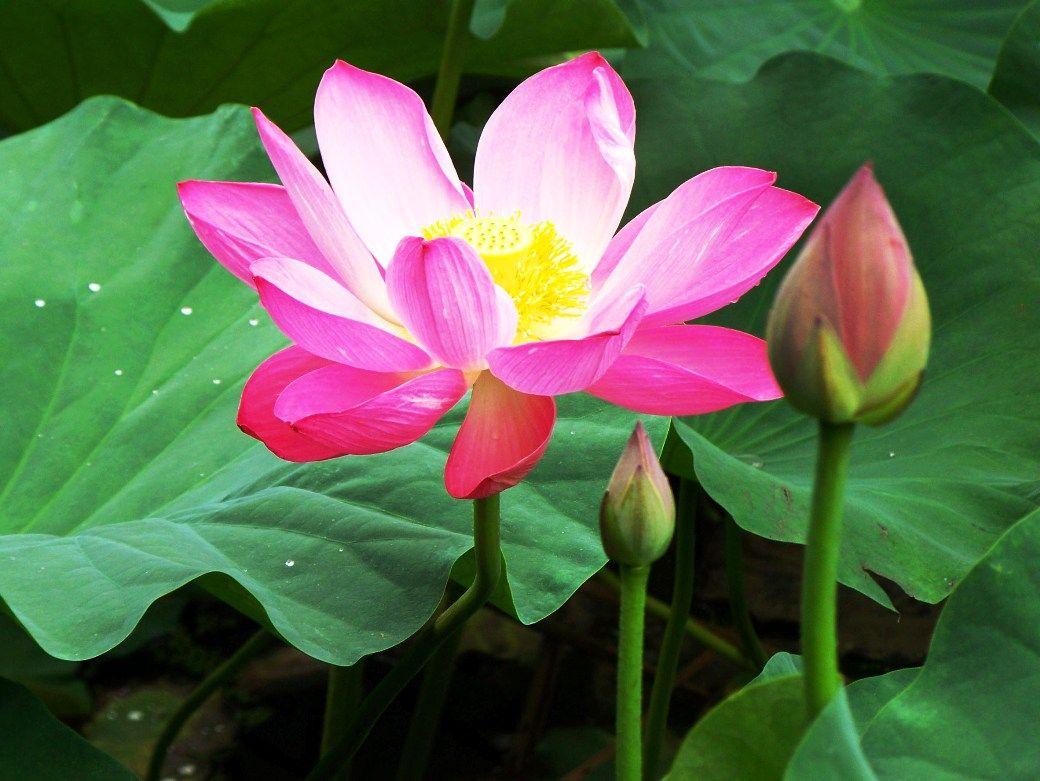 Gambar Bunga Teratai Berbagai Kemajuan Zaman Yang Lebih Maju Serta Canggih Media Sosial Merupa Lotus Flower Pictures Lotus Flower Wallpaper Flower Wallpaper