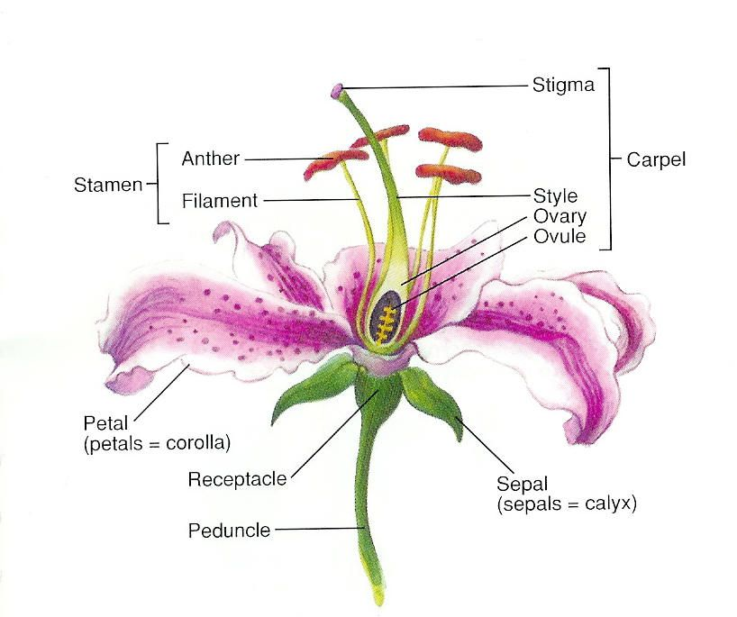 parts of a lily flower |  and explain the functions of