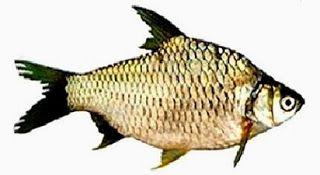 Buat Umpan Ikan Jenis Ikan Tawes Racikan Umpan Resep Umpan Resep Umpan Ikan Tawes Umpan Ikan Mujair Umpan Ikan Nila Umpan Ikan Nilem Ikan Umpan Pancing Teknik