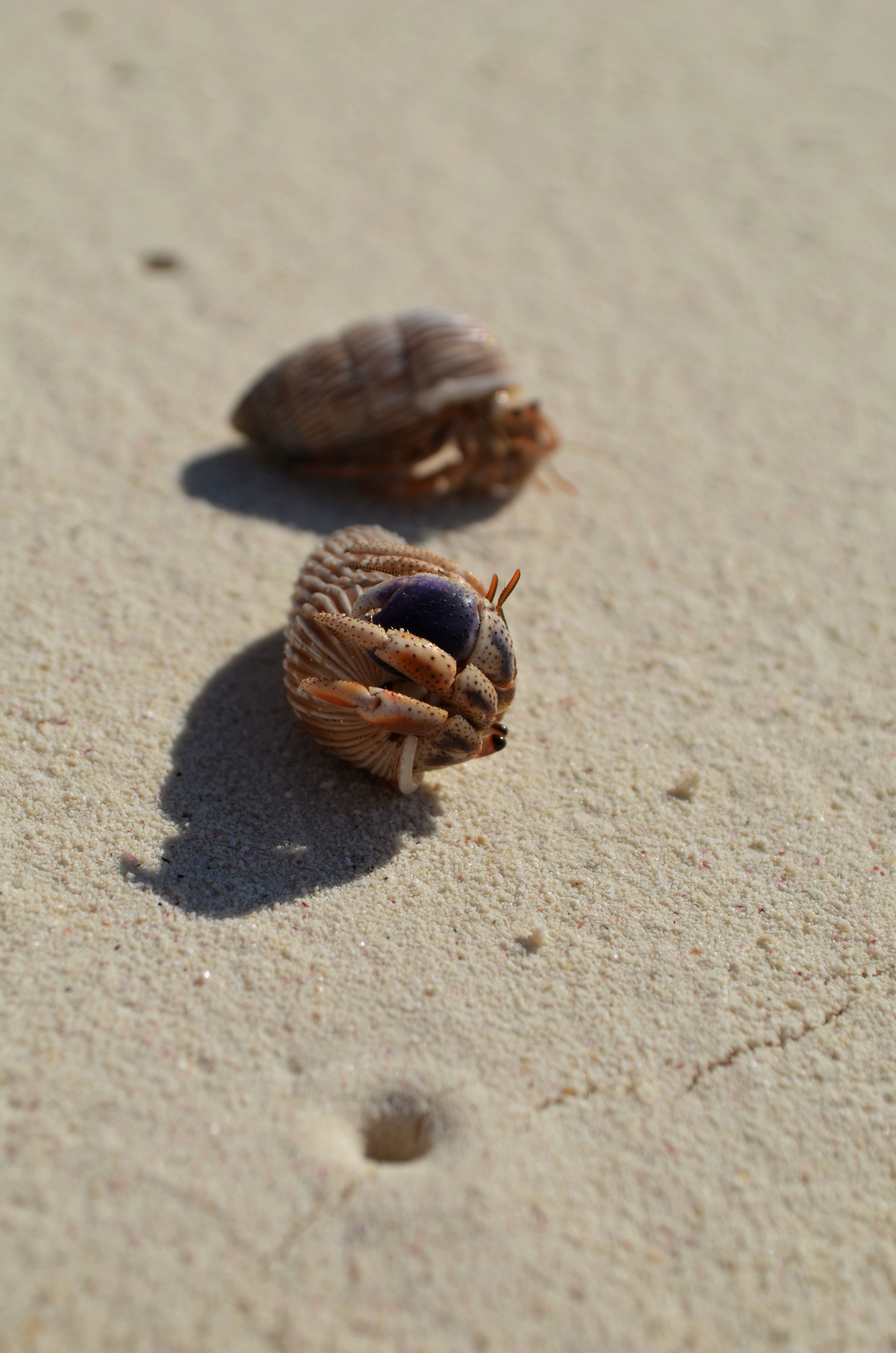 Hermit Crabs On The Beach Rose Island Bahamas