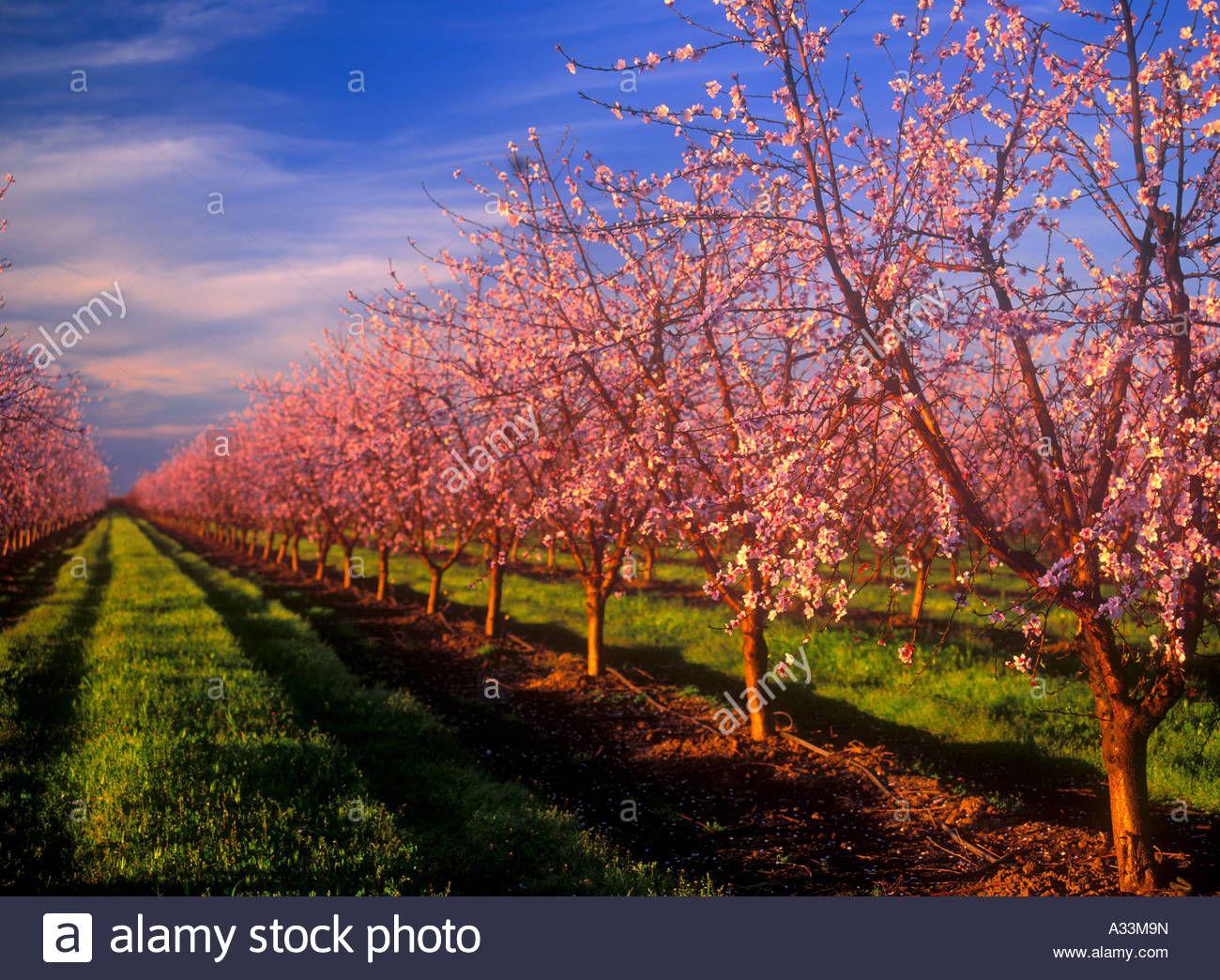 Peach Orchards In Bloom Near Yuba City Northern California Stock Photo Yuba City Landscape Northern California