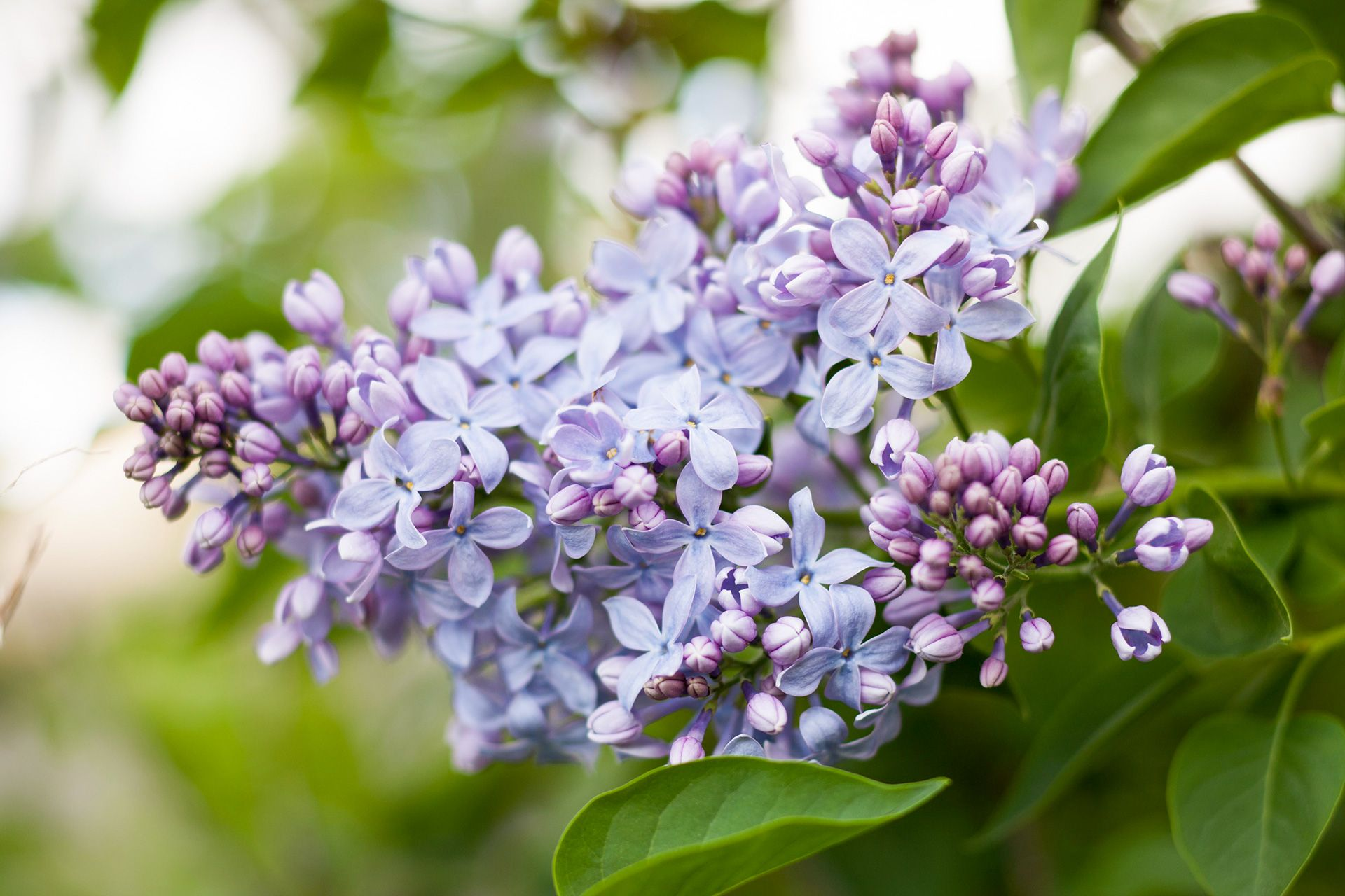 6 Lilac Facts That Will Surprise You Lilac Bushes Lilac Tree Flowers