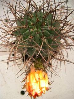 Acanthocalycium Minutum Cactus Cactus Succulents Plants
