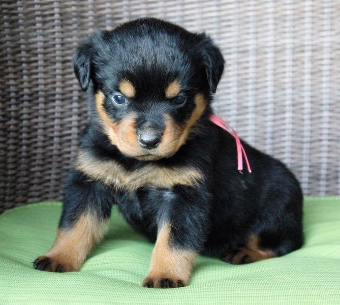 Rottweiler Puppy For Sale In Fair Play Sc Adn 21458 On