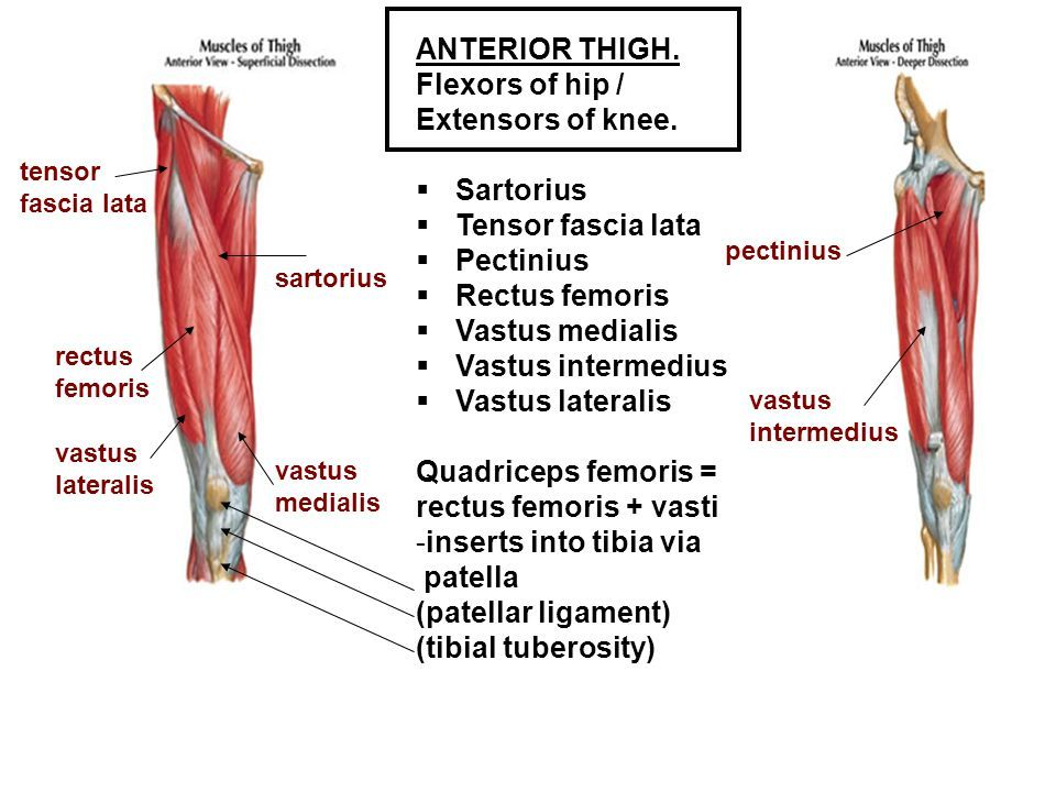 Image Result For Knee Extensors And Flexors Anatomy Muscle Anatomy