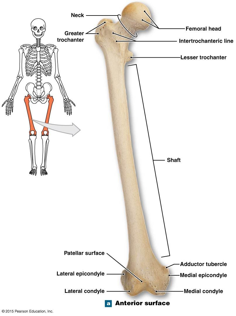 hight resolution of anterior view of the right patella