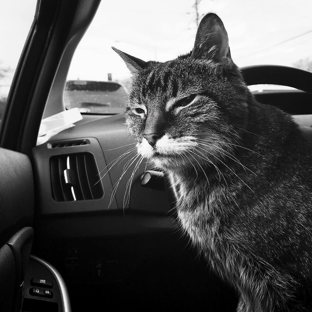 """""""We have arrived sir."""" Littlebit age 21 on the way to the vet's office for a checkup.  #cat #meow #catsofinstagram #bw #portrait #cats #catsincars #car #blackandwhite #gameoftones #humor #driving #toyota #pussycat #love #happy #explore #catstagram #kitty #caturday #meowmonday"""