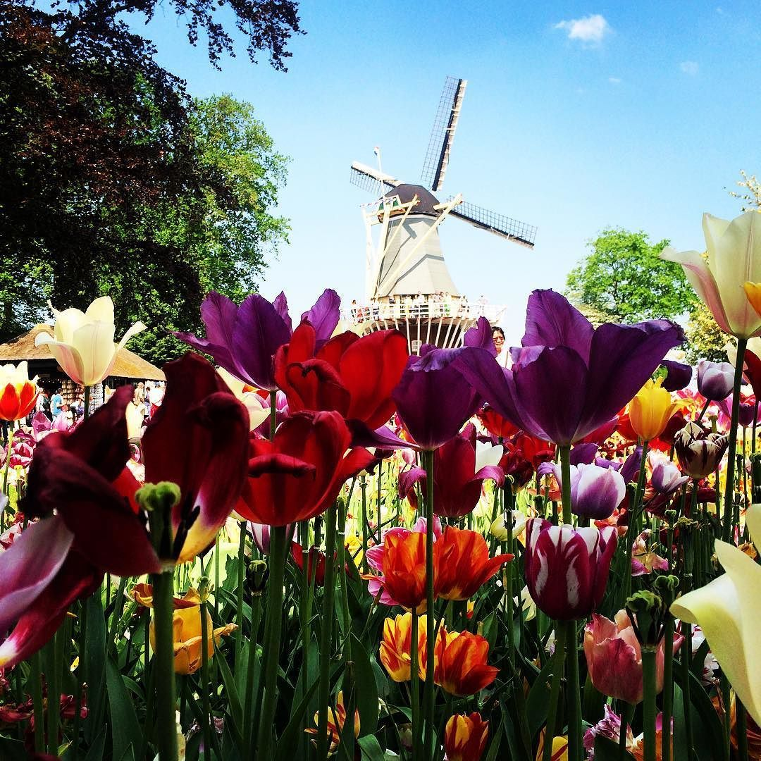 Postcard #keukenhof#holland#thenetherlands#sunnyday#postcard#flower#flowerpower#windmil#colorful#amazing#picoftheday#photoftheday#like4like#tagsforlikes#amsterdam#sunny#keukenhofgarden#instagood#instamood#instalike#theperfectday#likealways by veronicacolliva89