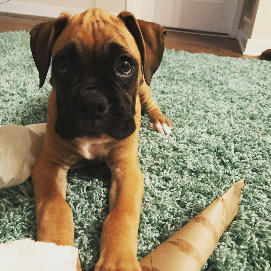 Boxer Photo Follow And Share Your Pics With Us Boxer Valko Boxerlife Boxerlove Boxerdog Boxernation Box Boxer Puppies Boxer Boxer Dogs