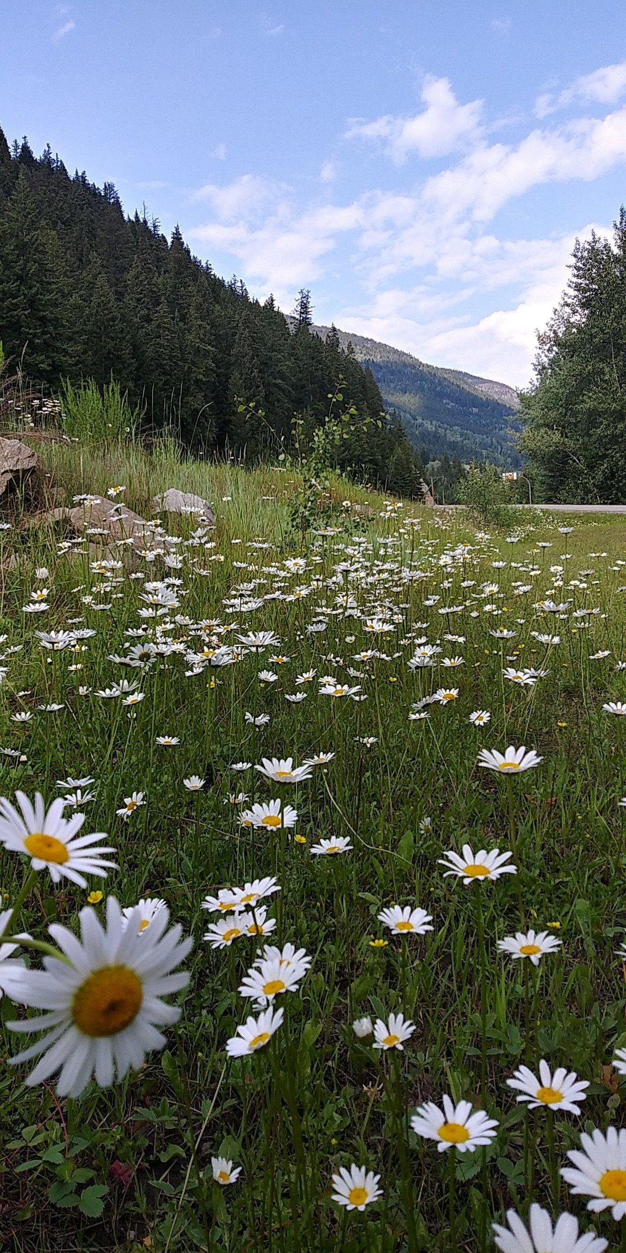 Daisy Fields In The Middle Of Nowhere In Canada Daisy Field Field Wallpaper Flower Field