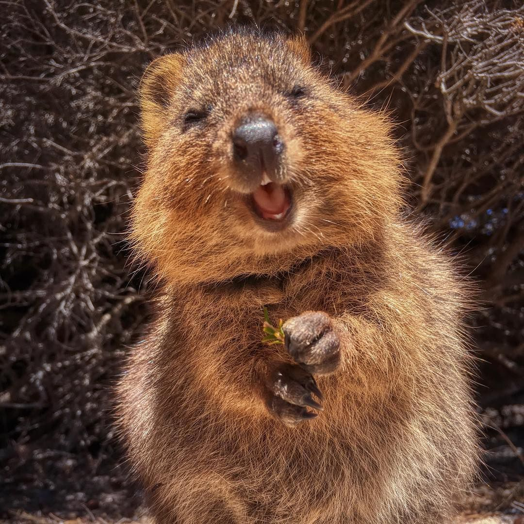 A Quokka Rottnest Island Western Australia This Tiny Island Off The Coast Of Perth Is The Only Place You Can Find Quokka Cute Animals Cute Kitten Pics