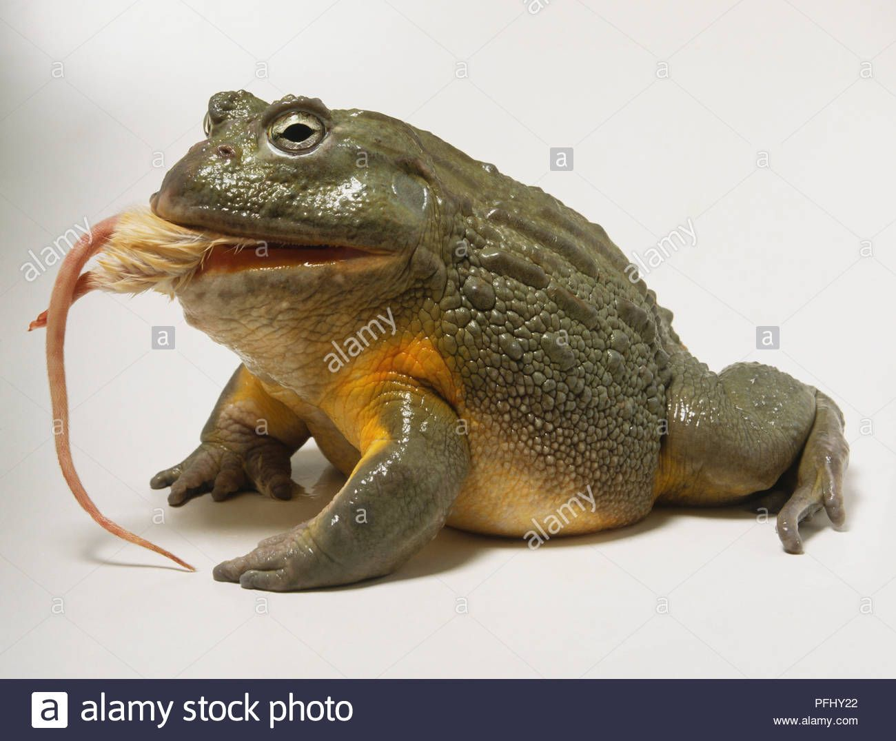「African Bullfrog」的圖片搜尋結果 African bullfrog, Frog, Toad