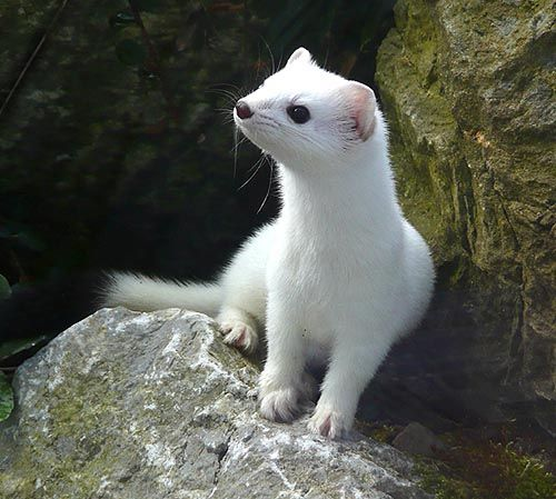 curious snowy Super cute animals, Cute animals, Cute ferrets