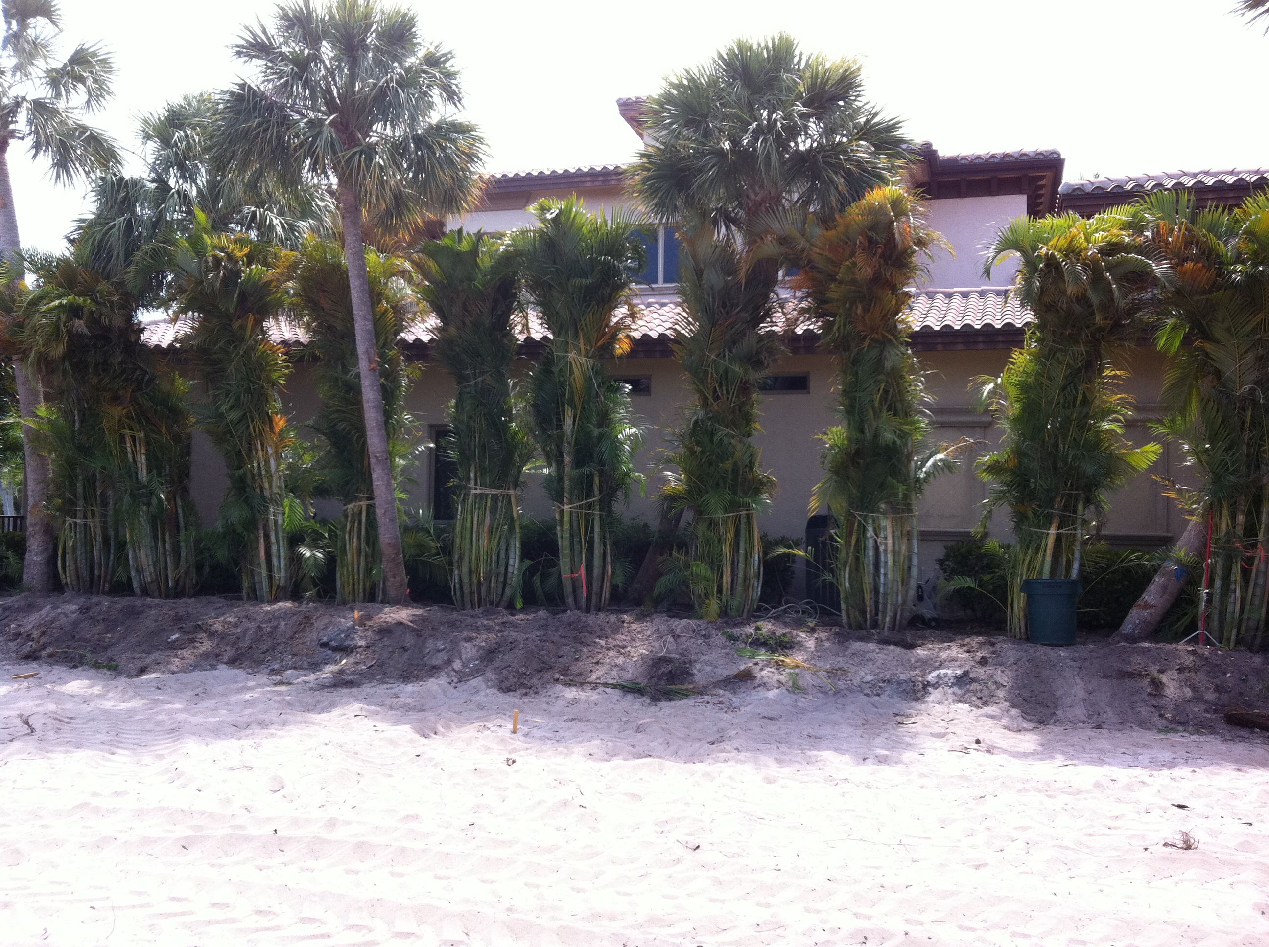 Areca palm install for privacy my landscape designs