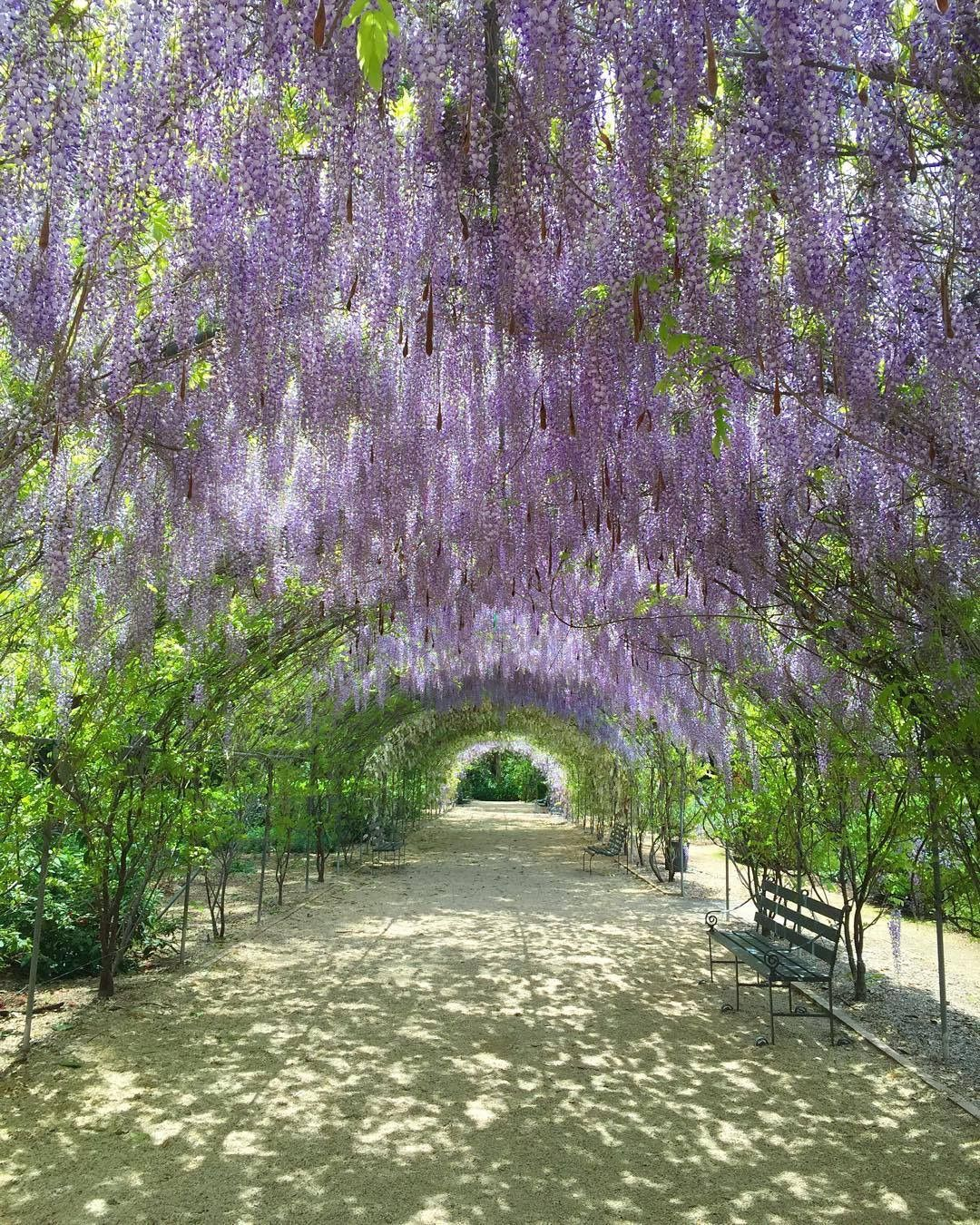 beautiful wisteria in the adelaide botanical gardens adelaide south australia